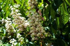 Flor del árbol de la castaña de Indias f en Kiev Foto de archivo