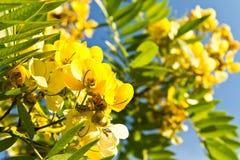 Flor del árbol de la fístula de la casia Fotos de archivo libres de regalías