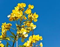 Flor del árbol de la fístula de la casia Fotografía de archivo libre de regalías