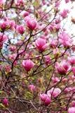 Flor del árbol de la magnolia Imágenes de archivo libres de regalías