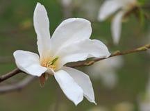 Flor del árbol de la magnolia Fotografía de archivo