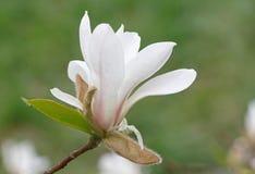 Flor del árbol de la magnolia Imagen de archivo