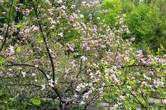 Flor del árbol de la magnolia Fotos de archivo