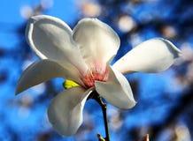 Flor del árbol de la magnolia Foto de archivo