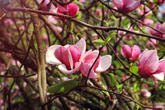Flor del árbol de la magnolia el la primavera Fotos de archivo