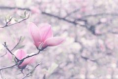 Flor del árbol de la magnolia en jardín de la primavera Imagenes de archivo