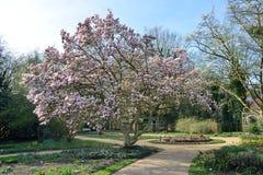 Flor del árbol de la magnolia en primavera Imagen de archivo