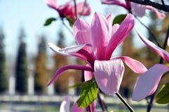 Flor del árbol de la magnolia Magnolia Susan, flores rosadas fotografía de archivo libre de regalías