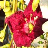 Flor del árbol de la salchicha y de x28; Africana& x29 de Kigelia; Foto de archivo