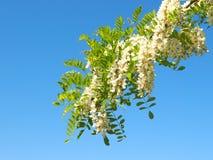 Flor del árbol de langosta imagenes de archivo