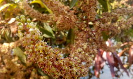 Flor del árbol de mango fotos de archivo libres de regalías