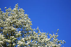 Flor del árbol de pera Foto de archivo