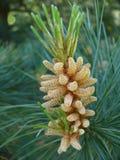 Flor del árbol de pino Fotografía de archivo libre de regalías