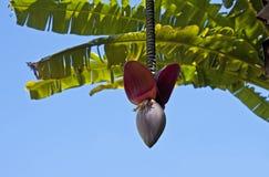Flor del árbol de plátano Imagen de archivo libre de regalías