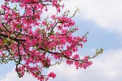 Flor del árbol de seda de la seda Imagen de archivo libre de regalías