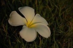 Flor del árbol de templo Fotos de archivo