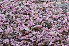 Flor del árbol de trompeta rosado Fotos de archivo libres de regalías