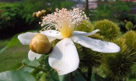 Flor del árbol del achiote imágenes de archivo libres de regalías