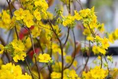 Flor del árbol del AMI de Hoa Foto de archivo libre de regalías