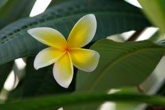 Flor del árbol del Frangipani durante nuestras vacaciones en la Florida, los E.E.U.U. Imágenes de archivo libres de regalías
