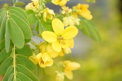 Flor del árbol del huevo revuelto fotos de archivo