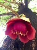 Flor del árbol del obús Fotografía de archivo