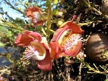 Flor del árbol del obús en rosado y poner crema con la donadora de polen de la abeja Imágenes de archivo libres de regalías