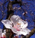 Flor del árbol del resorte Fotos de archivo