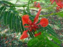 Flor del árbol llamativo Fotografía de archivo