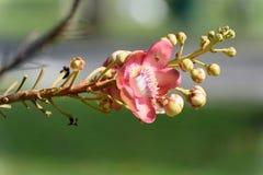 Flor del árbol del obús imagen de archivo libre de regalías