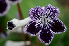 Flor del añil Imagenes de archivo