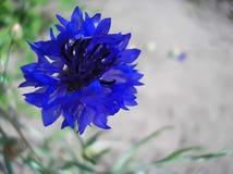 Flor del añil Fotos de archivo libres de regalías