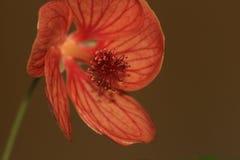 Flor del Abutilon Imagenes de archivo