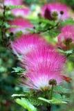 Flor del acacia Imagen de archivo libre de regalías