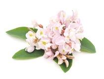 Flor del acacia imagen de archivo