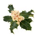 Flor del acebo Fotografía de archivo libre de regalías