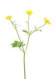 Flor del acris del ranúnculo Imágenes de archivo libres de regalías