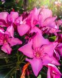 Flor del adelfa Imagenes de archivo