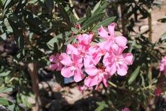 Flor del adelfa Imagen de archivo libre de regalías