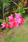 Flor del adelfa del Nerium Imagenes de archivo