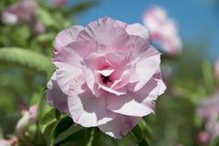 Flor del Adenium Fotografía de archivo