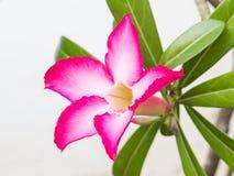 Flor del Adenium Imágenes de archivo libres de regalías