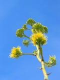 Flor del agavo Fotos de archivo