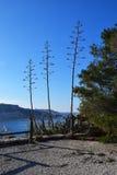 Flor del agavo en la isla de du frioul Foto de archivo libre de regalías