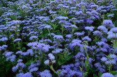 Flor del Ageratum fotos de archivo