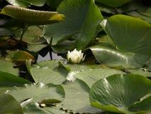 Flor del agua Imagenes de archivo