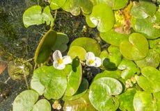 Flor del agua blanca Foto de archivo