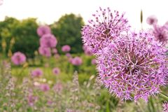 Flor del ajo Imagen de archivo libre de regalías