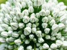 Flor del ajo Foto de archivo libre de regalías