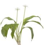 Flor del ajo Imagenes de archivo
